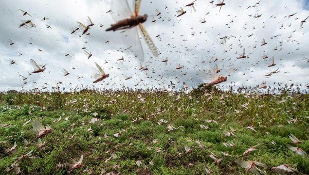 imagen de Se aproxima una manga de langostas. ¿Qué hará el Ministerio de Ganadería para evitar el daño?