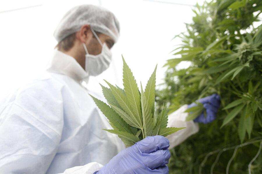 """imagen de Error """"de tipeo"""" en el MSP casi complica las exportaciones de cannabis"""