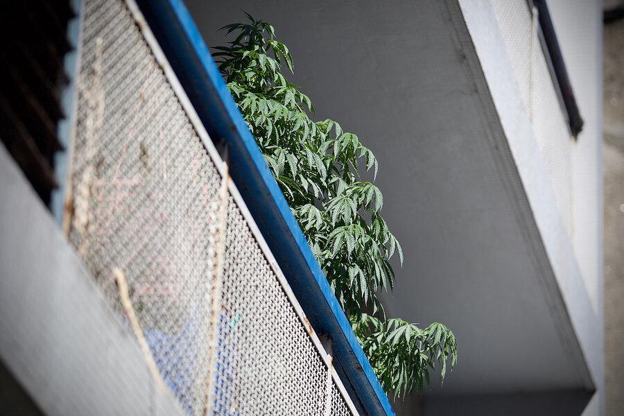 imagen de La Secretaría de Drogas quiere acelerar el ritmo de crecimiento del mercado legal de marihuana, que aumentó 14% en el 2020