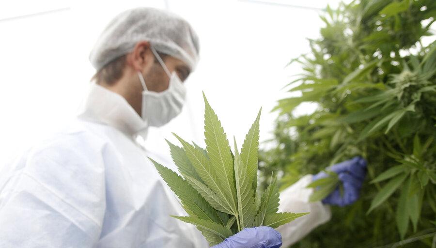 """imagen de Empresas de cannabis denuncian a Presidencia su """"tensa"""" relación con el MSP y advierten """"obstáculos"""" para el desarrollo del sector"""