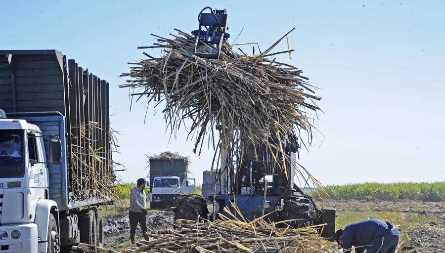 imagen de El área cañera se mantiene en 6.500 hectáreas para producir 440.000 toneladas de azúcar; el gobierno prevé sumarle el cáñamo
