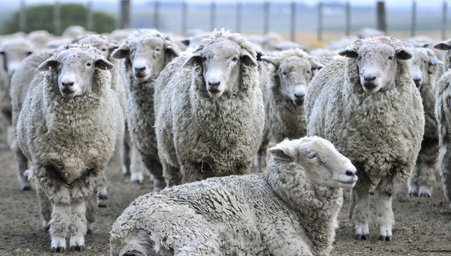 imagen de Concentradas en China, repuntan las exportaciones del sector ovino